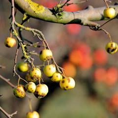 Herbst auf einer Apfelplantage in Hamburg Finkenwerder; die Blätter der Apfelbäume sind abgefallen, gelbe  Restäpfel mit Flecken hängen noch an den Zweigen.