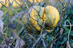 ICH WILL RAUS!!! Ein Kürbis versucht aus dem Garten zu flüchten  und bleibt im Maschendrahtzaun hängen - Nessdeich, Hamburg Finkenwerder.