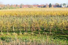 Blick über eine Apfelplantage im Herbst im Hamburger Stadtteil Finkenwerder - im Hintergrund sind die Hafenkräne / Containerkräne von Waltershof zu erkennen.