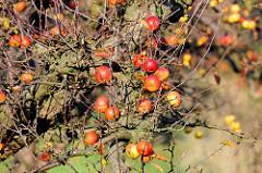 Herbst auf eine Apfelplantage in Hamburg Finkenwerder; die Blätter der Apfelbäume sind abgefallen, rote Restäpfel mit Flecken hängen noch an den Zweigen.
