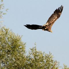 Ein Seeadler hat seine weiten Schwingen ausgebreitet und fliegt über den Ufer die Hohensaaten-Friedrichsthaler Wasserstraße im Nationalpark Unteres Odertal.