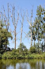 Bäume, teilweise abgestorben mit Mistel in den Zweigen - Ufer der Havel zwischen Havelberg und Rathenow.