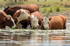 Kühe kühlen sich im Wasser der Havel ab - die Tiere stehen bis zum Bauch im Wasser.