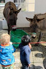 Frühlingsmarkt in der Alten Holstenstraße von Hamburg Bergedorf - lebende Esel werden für Kinder ausgestellt.