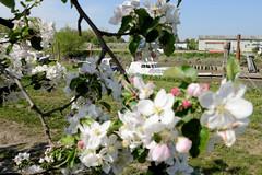 Fotos vom Hamburger Stadtteil Neuenfelde, Bezirk Hamburg Mitte. Apfelblüte im Alten Land, Blick durch einen blühenden Apfelbaum zum Sportboothafen an der Este.