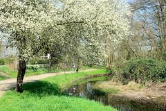 Blühender Baum am Lauf der Bille in Hamburg Lohbrügge - Spazierweg / Wanderweg entlang des Hamburger Flusses.