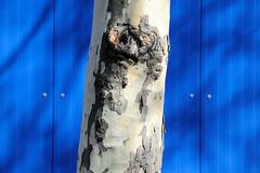 Bilder aus dem Hamburger Stadtteil Billbrook - blaue Fassade eines Lagergebäudes in der Bezeliusstraße am Straßenrand steht eine Platane.