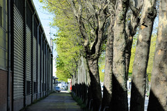 Bilder aus dem Hamburger Stadtteil Billbrook - Platanenallee am Straßenrand der Berzeliusstraße.