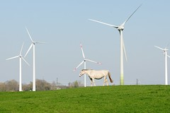 Bilder aus Wöhrden, Gemeinde im Kreis Dithmarschen - Metropolregion Hamburg. Ein Pferd grast auf der Weide -  im Hintergrund mehrere Windkraftanlagen / Windräder.