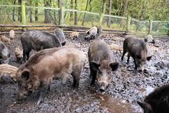 Fotos vom Forst Klövensteen im Hamburger Stadtteil Rissen; Wildschweine suhlen im Morast des Geheges.