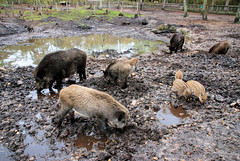Fotos vom Forst Klövensteen im Hamburger Stadtteil Rissen ; Wildschweine / Frischlinge  suhlen im Morast des Geheges.