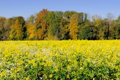 Grundremmingen, Gemeinde an der Donau in Bayern - Stadtort des gleichnamigen Kernkraftwerks, Siedewasserreaktors. Feld mit blühendem Winterraps - im Hintergrund Bäume mit Herbstlaub.