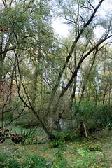 Bilder vom Vollhöfner Wald in Hamburg Finkenwerder. Aue - überfluteters Ufer der Alten Süderelbe; Bäume stehen im Wasser.