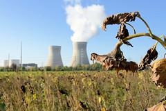 Grundremmingen, Gemeinde an der Donau in Bayern - Stadtort des gleichnamigen Kernkraftwerks, Siedewasserreaktors. Feld mit vertrockneten Sonnenblumen, im Hintergrund das AKW - lks. die Blöcke B + C, Dampf steigt aus einem der Kühltürme. Die beiden Kü