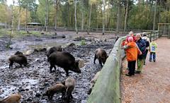 Fotos vom Forst Klövensteen im Hamburger Stadtteil Rissen; Wildschweine suhlen im Morast des Geheges - BesucherInnen stehen hinter dem Holzzaun und beobachten die Tiere.