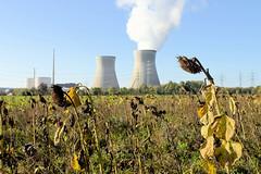 Grundremmingen, Gemeinde an der Donau in Bayern - Standort des gleichnamigen Kernkraftwerks, Siedewasserreaktors. Feld mit vertrockneten Sonnenblumen, im Hintergrund das AKW - lks. die Blöcke B + C, Dampf steigt aus einem der Kühltürme. Die beiden Kü