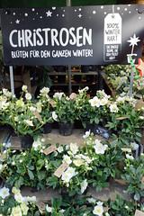 Fotos aus dem Hamburger Stadtteil Niendorf, Bezirk Eimsbüttel. Weihnachtsmarkt am Tibarg, der Einkaufsstraße Niendorfs,  Stand mit weiss blühenden Christrosen.