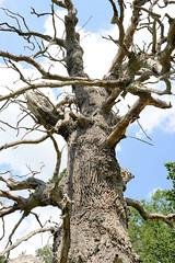 Klädener Eichen - unter Naturschutz stehende Stieleichen - Alter ca. 350 Jahre.