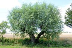 Benzin ist ein Ortsteil der Gemeinde Kritzow und liegt im Landkreis Ludwigslust-Parchim in Meclenburg-Vorpommern. Alte Kopfweide als Straßenbaum - der Stamm ist  zweigeteilt.