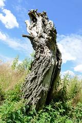 Benzin ist ein Ortsteil der Gemeinde Kritzow und liegt im Landkreis Ludwigslust-Parchim in Meclenburg-Vorpommern.  Alter Stamm einer Weide - Straßenbaum am Feld.