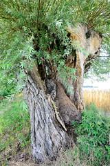 Benzin ist ein Ortsteil der Gemeinde Kritzow und liegt im Landkreis Ludwigslust-Parchim in Meclenburg-Vorpommern. Alte Kopfweide als Straßenbaum - der Stamm ist stark beschädigt.