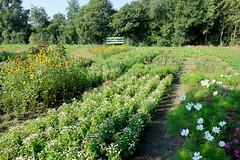 Fotos aus dem Hamburger Stadtteil   Allermöhe, Bezirk Hamburg Bergedorf.  Blumenfeld mit Schnittblumen - Schild Blumen zum Selberpflücken.