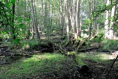 Buchenwald Grumsin - UNESCO Weltnaturerbe im Biosphärenreservat Schorfheide-Chorin, Brandenburg.