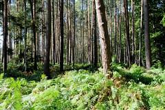 Die Rostocker Heide, ein Wald- und Heidegebiet nordöstlich von Rostock, ist seit 1252 im Besitz der Hansestadt Rostock.