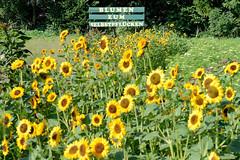 Fotos aus dem Hamburger Stadtteil   Allermöhe, Bezirk Hamburg Bergedorf. Feld mit Sonnenblumen am Allermöher Deich, Schild Blumen zum Selberpflücken.