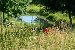 Neuengamme  ist ein Hamburger Stadtteil im Elbmarsch-Gebiet der Vierlande im Bezirk Bergedorf. Blühende Wiesenblumen am Ufer der Dove-Elbe.