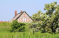 Wohnhaus hinterm Deich am Lüheufer - Obstbaum auf der Wiese.