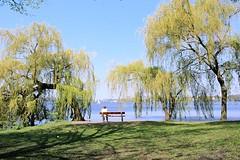 Frühlingsgrün an der Aussenalster - Weiden am See. Zwischen den Weiden sitzt eine Frau alleine auf der Parkbank am Alsterufer.