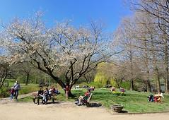 rühlingshafte Idylle auf der Liebesinsel am Hamburger Stadtparksee. Die Parkbesucher sitzen auf Stühlen und Bänken unter den blühenden Kirschbäumen in der Sonne.
