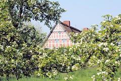 Obsthof zwischen blühenden Obstbäumen im Alten Land.