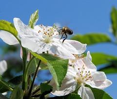 Eine Biene fliegt in die weit geöffnete Kirschblüte - Obstanbaugebiet Altes Land.