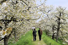 Romantischer Spaziergang unter blühenden Kirschbäumen.