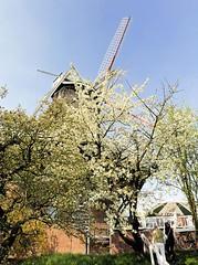 Bluehender Obstbaum im Alten Land - Flügel einer Windmühle.