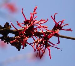 Blühende rote Zaubernuss, Hamamelis im Hamburger Stadtpark. Die Zaubernuss beginnt schon ab Mitte Januar im Park zu blühen - als sogen. Winterblütler rollen sich die Blütenblätter bei kalten Temperaturen zusammen und überstehen so bis zu -12°