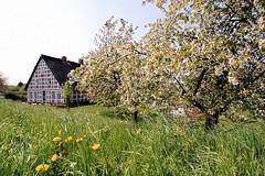 Wiese mit Löwenzahn und blühendem Obstbaum - Bauernhaus mit Fachwerk und Strohdach.