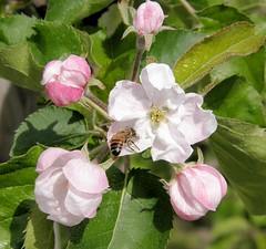 Apfelblüten und Knospen eines Apfelbaums im Alten Land - Biene im Anflug.