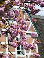 Historisches Fachwerkgebäude mit Strohdach im Alten Land - Japanische Zierkirschen - rosa Kirschblüten.