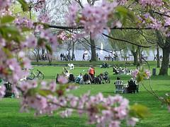 Unter zart rosafarbenen Blüten der Japanischen Zierkirsche sitzen Menschen auf der Wiese.