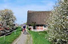 Fahrradtour ins alte Land zur Kirschbluete. FahrradfahrerInnen fahren auf dem Deich durch das Alte Land. Auf beiden Seiten der Schutzanlage gegen Hochwasser stehen blühende Kirschbäumen - ein reetgedecktes Fachwerkhaus steht dicht am Deich.
