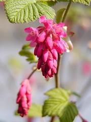 Blüte der Ribes sanguineum; früh blühender Zierstrauch. Die Blutjohannisbeere hat ihre Heimat in Nordamerika und erreicht eine Höhe von ca. 2m.