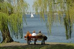 Sitzbank unter frischen Weidenblättern - Frühlingsgrün. Parkbank am Alsterufer unter frisch spriessenden Weiden im Frühling.