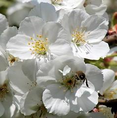 Geöffnete Kirschblüten - Blütenstempel der Kirschen - Biene in der Blüte.