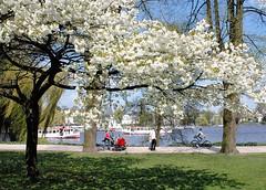 Spaziergänger und Fahrradfahrer im Alstergrünzug, blühende Kirschbäume.