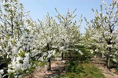 Kirschbäume in Blüte - Kirschfrucht im Alten Land.