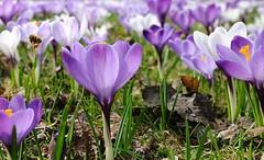Krokuswiese mit violetten und weissen Krokussen; fliegende Biene. Der Wilde Krokus oder auch Elfenkrokus genannt, ist eine von den über 100 Krokussorten.