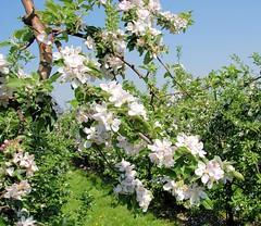 Zweig eines blühenden Apfelbaums - Apfelplantage im Alten Land; Randgebiet Hamburgs.